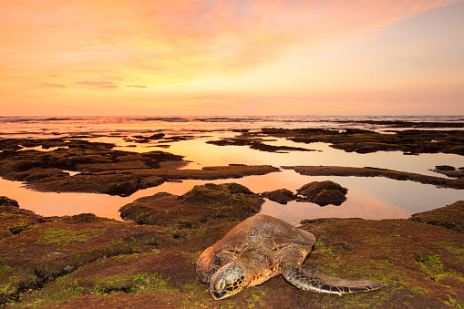 Green Turtle「Sea Turtle at Sunset」:スマホ壁紙(9)