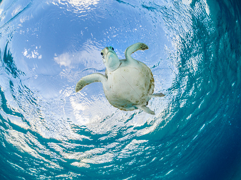 Sea Turtle「Sea turtle low angle close up.」:スマホ壁紙(5)