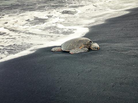 Green Turtle「Sea turtle sleeping at the beach」:スマホ壁紙(4)