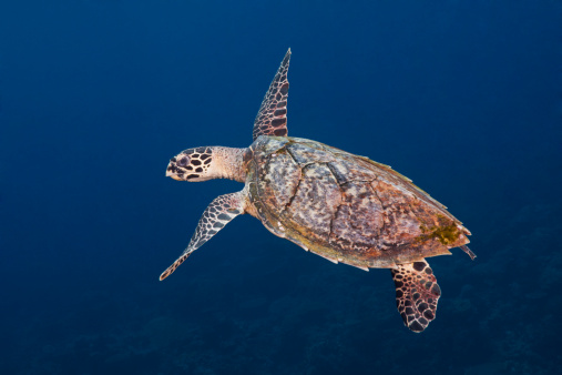 Hawksbill Turtle「Sea Turtle swimming over tropical coral reef」:スマホ壁紙(2)