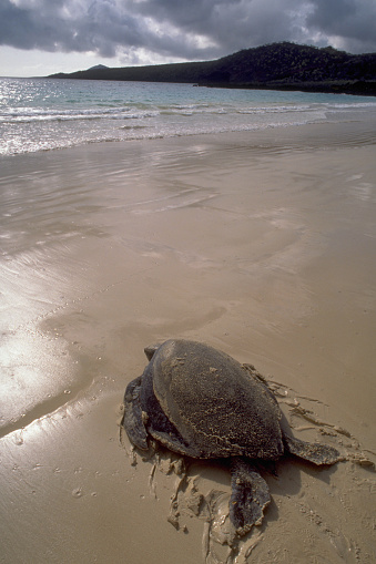 Green Turtle「Sea Turtle on Sand」:スマホ壁紙(6)