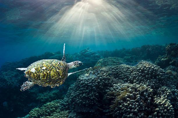 Sea turtle over corals:スマホ壁紙(壁紙.com)