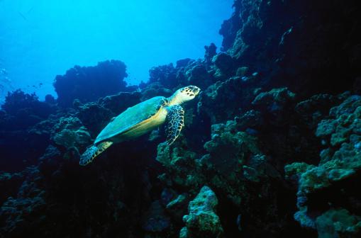 Green Turtle「Sea turtle (Chelonia mydas) swimming above coral, Egypt」:スマホ壁紙(2)