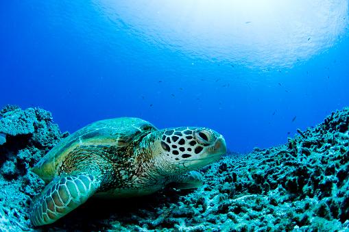 Living Organism「Sea turtle resting underwater」:スマホ壁紙(16)