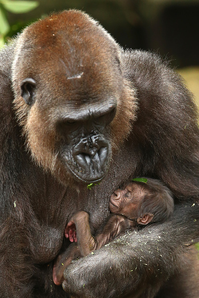 動物「Taronga Zoo Welcomes Baby Gorilla」:写真・画像(10)[壁紙.com]