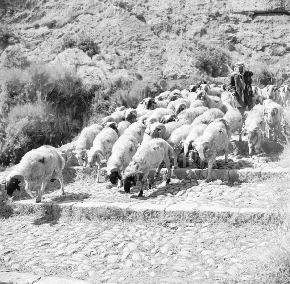 Lebanon - Country「Dog Sheep」:写真・画像(6)[壁紙.com]