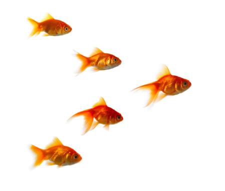 Carp「Goldfish against white background」:スマホ壁紙(14)