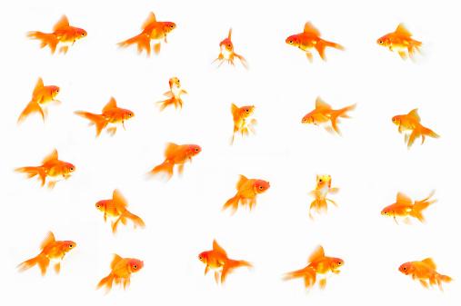 Goldfish「Goldfish (Carassius auratus auratus) against White background (Digital composite)」:スマホ壁紙(19)