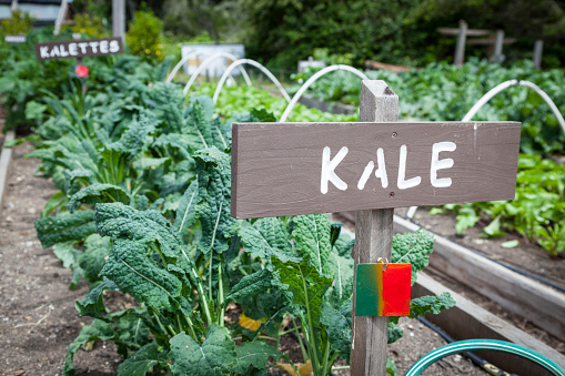 Planting「Kale - Growing Vegetables」:スマホ壁紙(18)