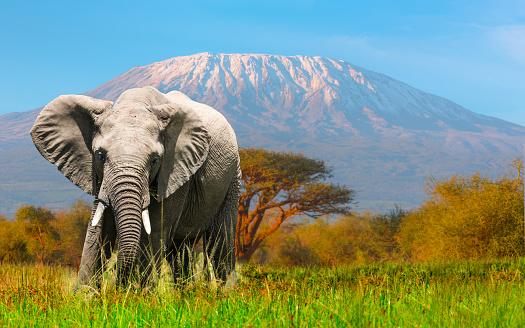Elephant「Giant Elephant grazing at Amboseli with Kilimanjaro」:スマホ壁紙(13)