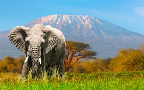 Giant Elephant grazing at Amboseli with Kilimanjaro:スマホ壁紙(壁紙.com)