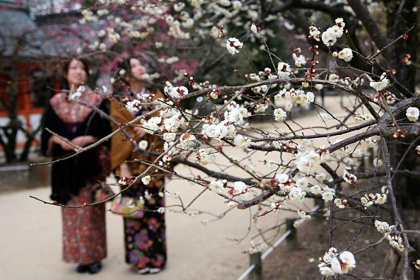 梅の花「Plum Blossom At Kitano Tenmangu Shrine」:写真・画像(9)[壁紙.com]