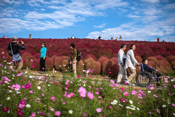 ベストオブ「Kochias Turn Red At Hitachi Seaside Park」:写真・画像(16)[壁紙.com]