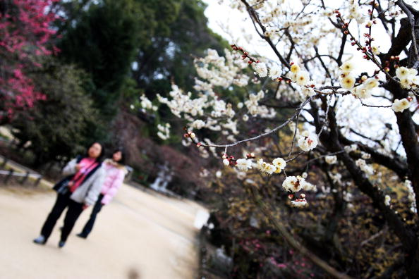 梅の花「Plum Blossom At Kitano Tenmangu Shrine」:写真・画像(11)[壁紙.com]