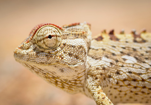Eyesight「The Namaqua chameleon (Chamaeleo namaquensis) is a ground-living lizard found in the western desert regions of Namibia, South Africa and southern Angola. Namib-Naukluft National Park」:スマホ壁紙(3)