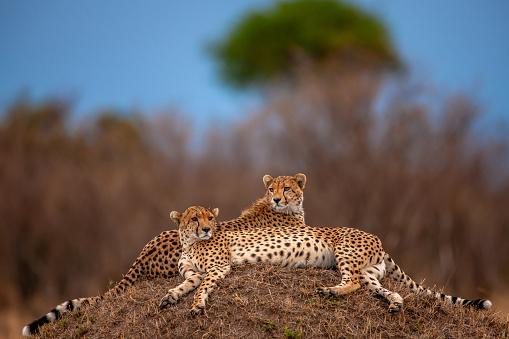 African Cheetah「Two beautiful cheetahs (Acinonyx jubatus) in resting」:スマホ壁紙(17)