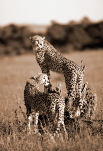 Sepia Toned「Two cheetahs looking over shoulders, one on tree stump (sepia toned)」:スマホ壁紙(16)