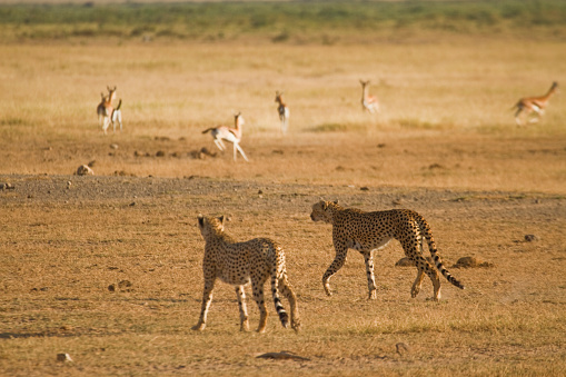 Animals Hunting「Two cheetah walking in the savannah hunting gazelle」:スマホ壁紙(8)