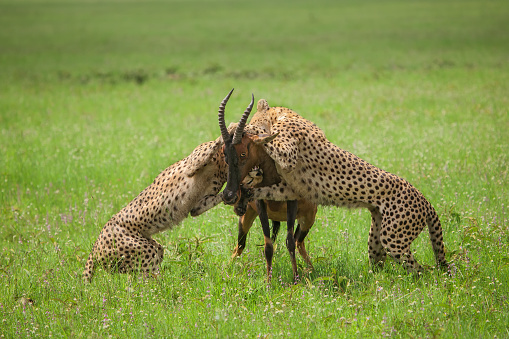 African Cheetah「Two Cheetahs attacking an adult Topi」:スマホ壁紙(3)