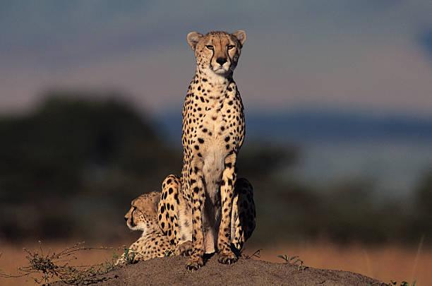 Two cheetahs (Acinonyx jubatus) watching from rock, Kenya:スマホ壁紙(壁紙.com)