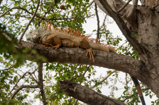 Sayulita「An Iguana On The Branch Of A Tree」:スマホ壁紙(7)