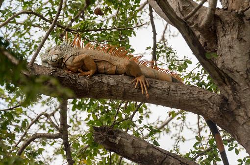 Sayulita「An iguana on the branch of a tree; sayulita mexico」:スマホ壁紙(18)