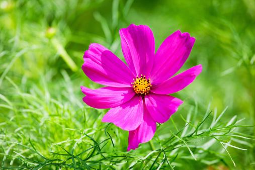 コスモス「Single blossom of Mexican Aster, Cosmea, at sunlight」:スマホ壁紙(2)