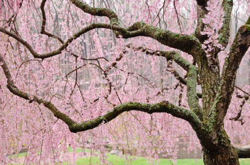 Oriental Cherry Tree「チェリーツリーの枝」:スマホ壁紙(17)
