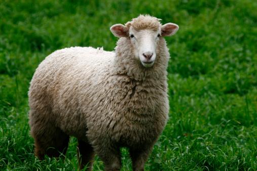 Animal Ear「Sheep」:スマホ壁紙(0)