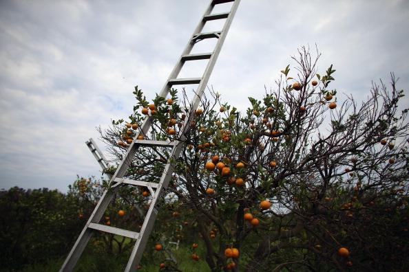 Orange - Fruit「Citrus Greening Diseases Threatens Florida's Orange Industry」:写真・画像(12)[壁紙.com]