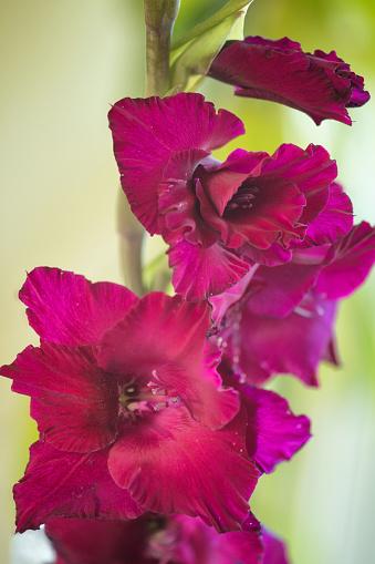 紫「Gladiolus Flower. Summer Garden」:スマホ壁紙(0)