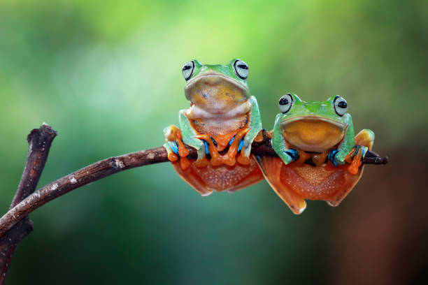 Two Javan tree frogs on branch, Indonesia:スマホ壁紙(壁紙.com)