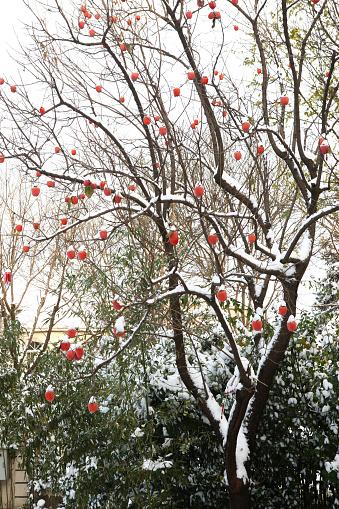 柿「Persimmon tree in the courtyard」:スマホ壁紙(0)