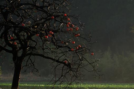 Persimmon Tree「Persimmon tree, Chiba Prefecture, Japan」:スマホ壁紙(16)