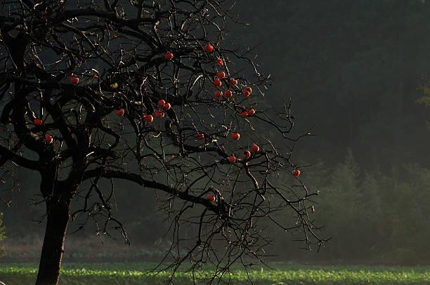 Persimmon tree, Chiba Prefecture, Japan:スマホ壁紙(壁紙.com)
