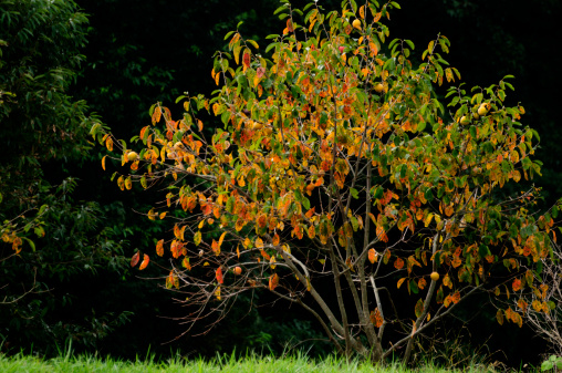 柿「Persimmon tree, Chiba Prefecture, Japan」:スマホ壁紙(15)