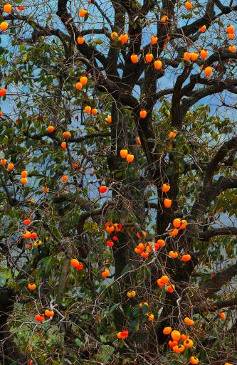 柿「Persimmon tree」:スマホ壁紙(12)