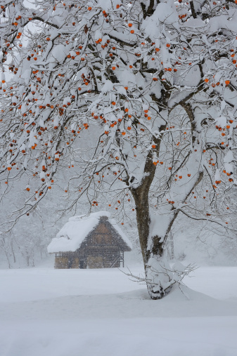 柿「Persimmon Tree in Snowscape, Shirakawa, Ono, Gifu, Japan」:スマホ壁紙(14)