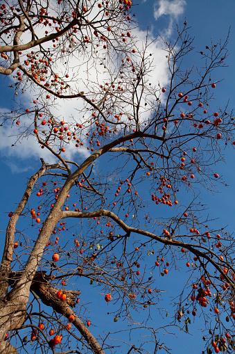 柿「Persimmon Tree with Fruits」:スマホ壁紙(10)