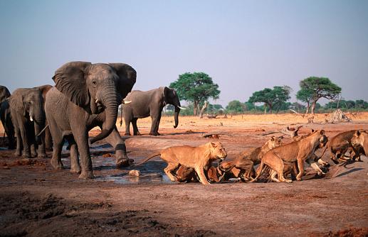 Warning Behavior「Elephant Bull Charging Lions at Water Hole」:スマホ壁紙(12)