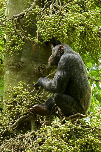Fig「Hungry chimpanzee ( Pan troglodytes)eating ripe figs from tree, Ngogo Chimpanzee Project, Kibale National Park, Uganda」:スマホ壁紙(13)