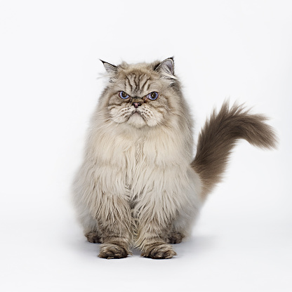 Pets「Grumpy Cat Seated」:スマホ壁紙(15)