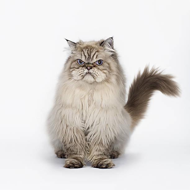 Grumpy Cat Seated:スマホ壁紙(壁紙.com)