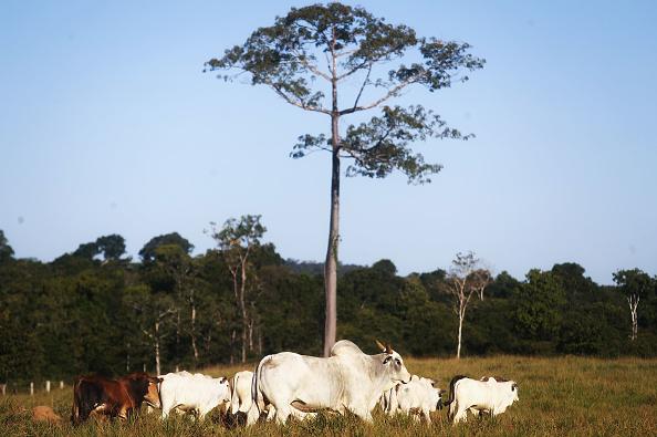 Deforestation「U.S. Suspends Beef Imports From Brazil」:写真・画像(16)[壁紙.com]