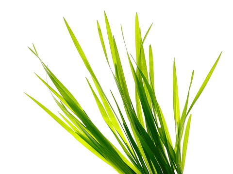 Grass Family「Multiple blades of green grass on a white background」:スマホ壁紙(19)
