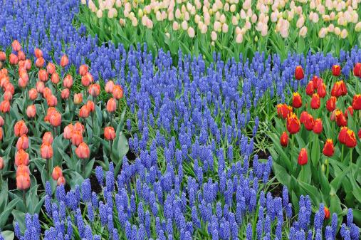 Keukenhof Gardens「Tulip and Grape Hyacinth flower bed, close up.」:スマホ壁紙(12)
