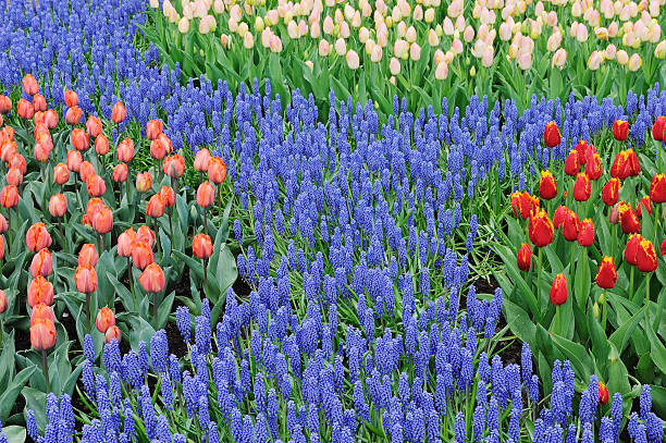 Tulip and Grape Hyacinth flower bed, close up.:スマホ壁紙(壁紙.com)