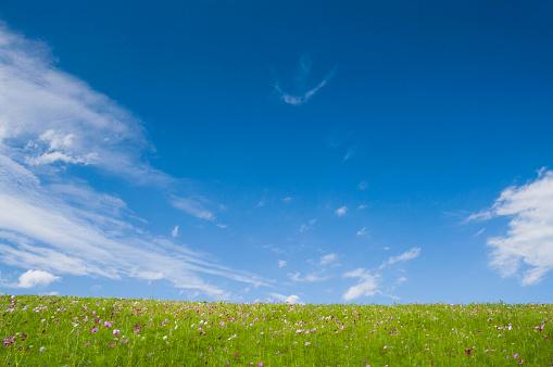 コスモス「Cosmos in field below clouds in blue sky, Hitachinaka, Ibaraki Prefecture, Japan」:スマホ壁紙(3)