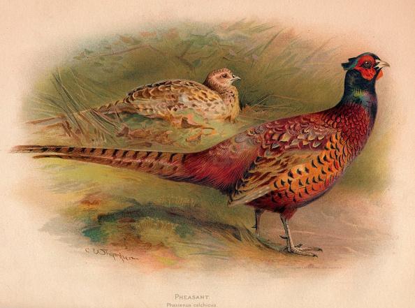 鳥「'Pheasant (Phasianus colchicus)', 1900, (1900)」:写真・画像(5)[壁紙.com]