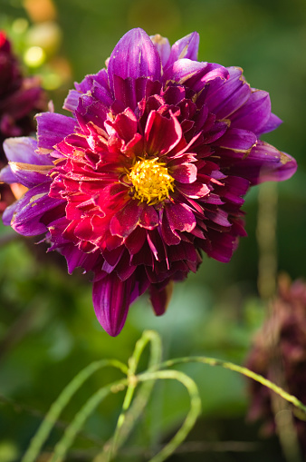 flower「Purple Dahlia Flower Eaten Up by Snails」:スマホ壁紙(14)